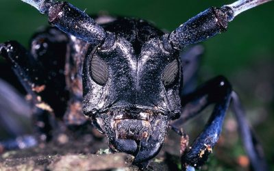 Entomologists Warn Indiana Residents of the Potential Arrival of the Asian Longhorned Beetle