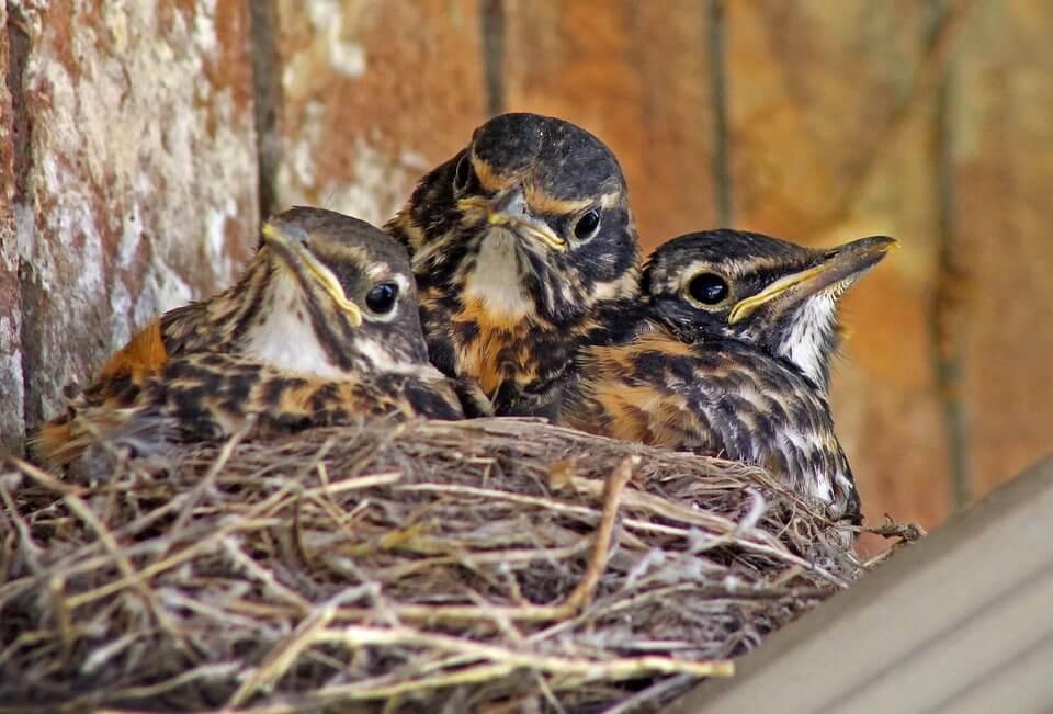 Baby Birds in Nest