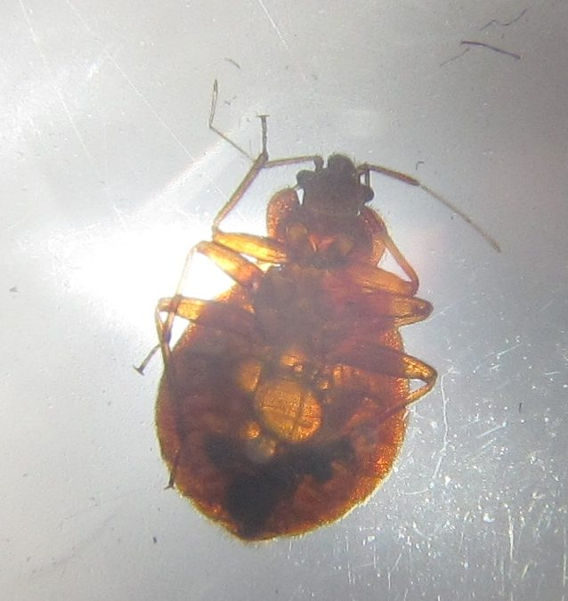 Heat Treatment for Bedbugs is Most Effective
