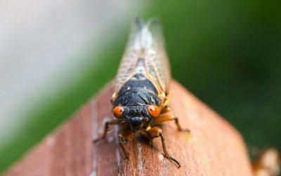 Emergence of the Brood X Cicadas