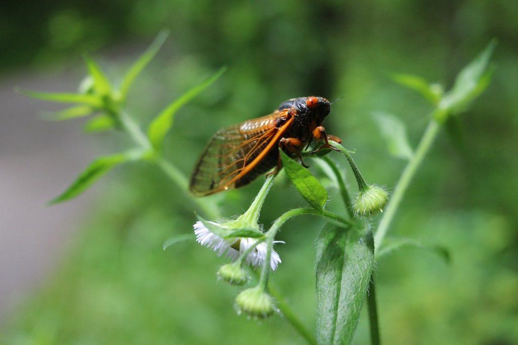 Cicada On Flower