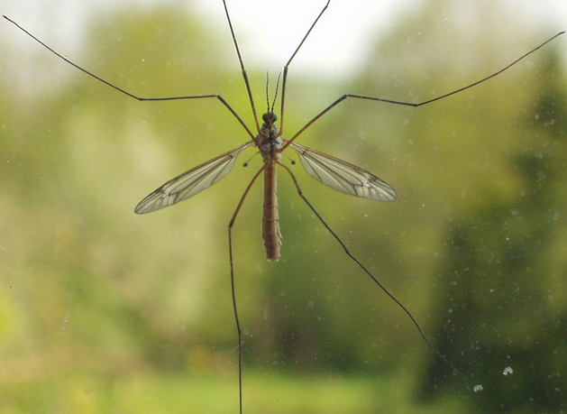 Crane Flies – A Comprehensive Guide