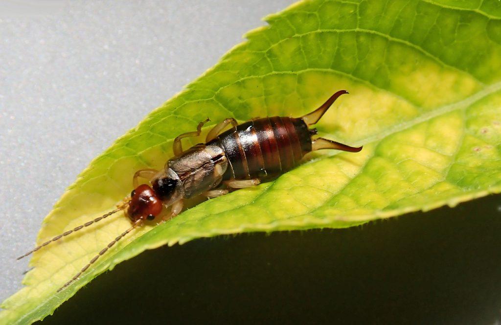 Earwig on Leaf