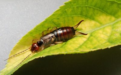Plagued by Earwigs? This Comprehensive Guide is For You