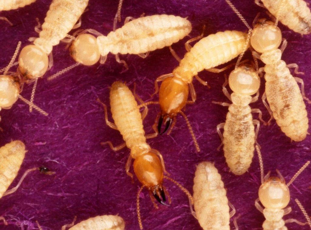termite season. swarming termites