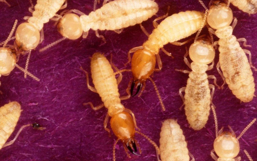 "The Truth Behind ""Termite Season"""