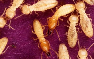 "The Truth Behind ""Termite Season"""