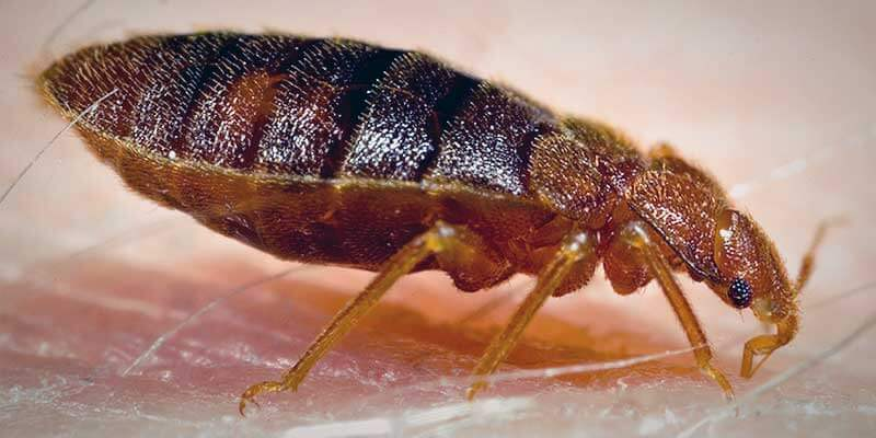 Identify Bed Bugs for Extermination