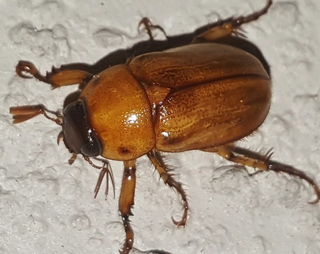 June Bugs Have Arrived in Indiana
