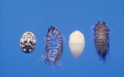 Keep Your Home Carpet Beetle Free