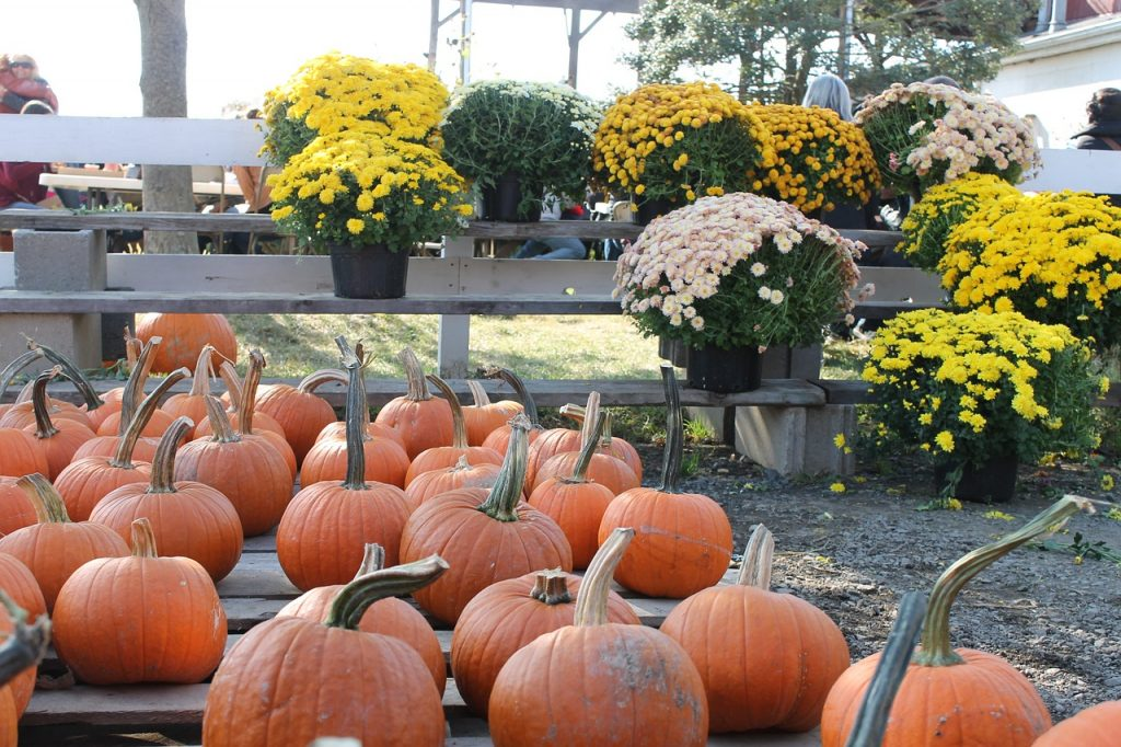 Pest Free mums and pumpkins