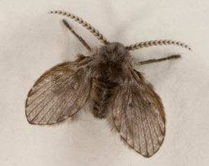 Pest Treatment for Drain Flies