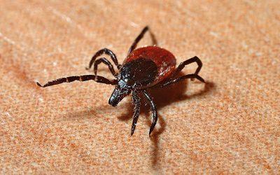 The Powassan Virus – A Tick-Borne Illness