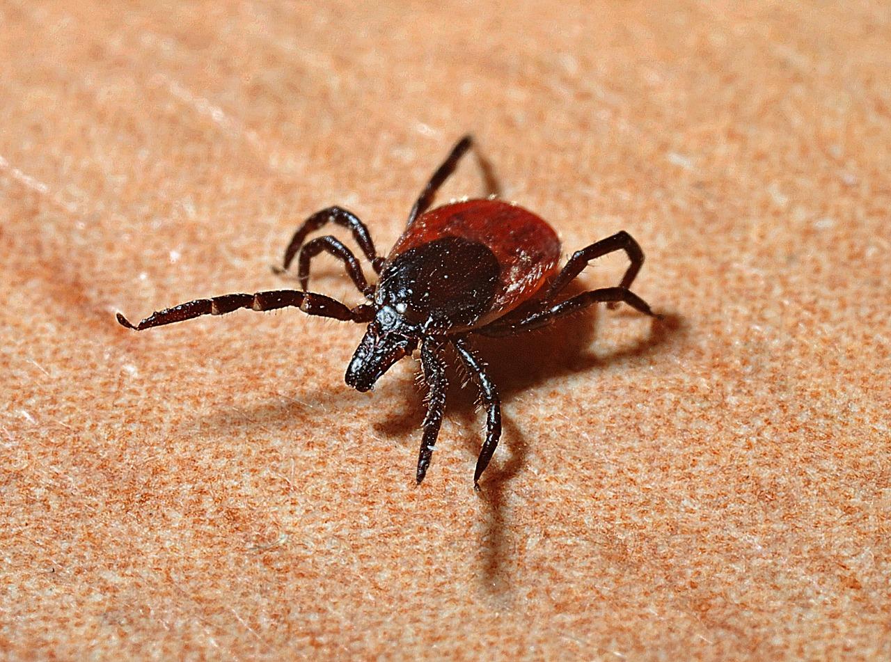 Powassan Virus tick