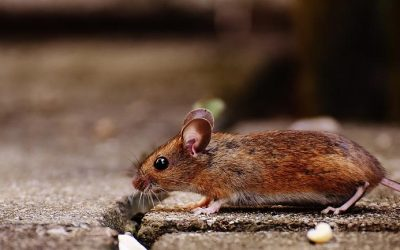 Rodent Control: If You Don't Think your House Has Rodents, Think Again.