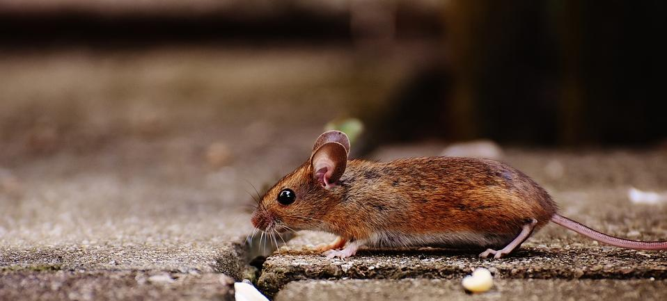 Rodent Control - mouse finding a home