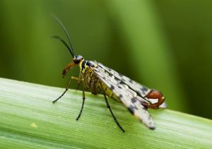 Weirdest insects: Scorpion Fly