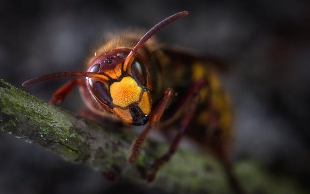 Wasps: Identifying Stinging Pests