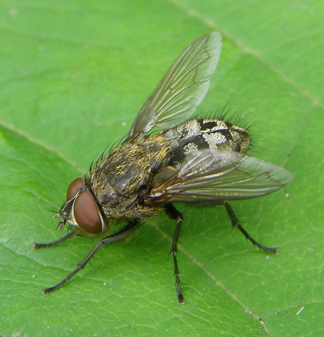 Active Pest Control for Cluster Flies