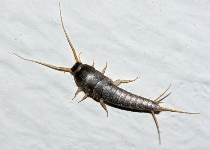 Silverfish – Active Pest Control Measures for Homeowners