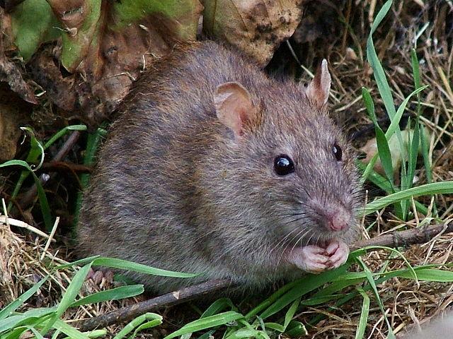 Highly Active Rodent Season Calls for Active Pest Control
