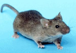 Active Pest Control Methods for Preventing Rats and Mice