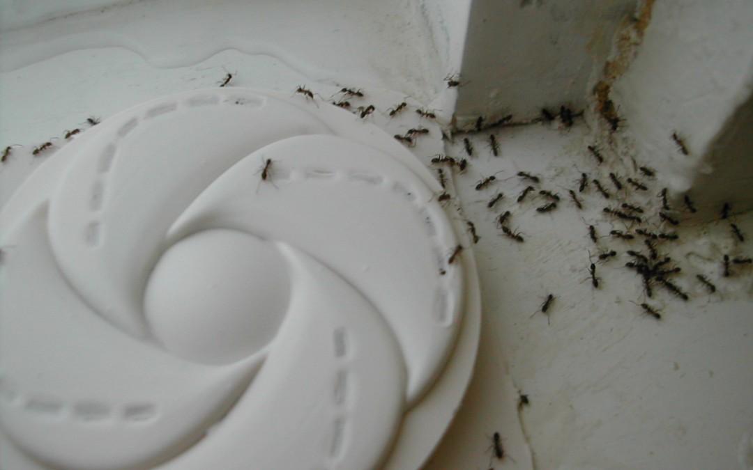 Ants in Slab Homes