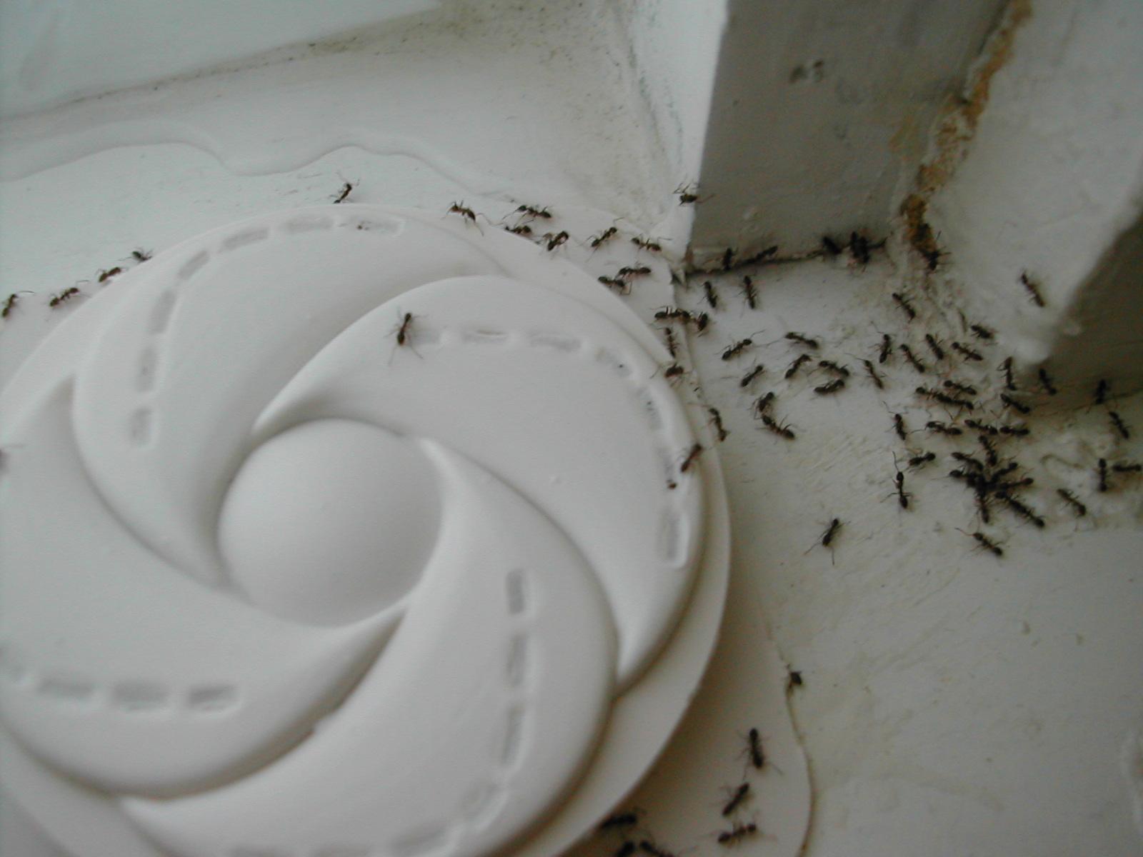 Ants In Slab Homes Allpest Exterminating Inc