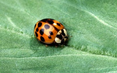 Asian Lady Beetles: What to Do About Infestations