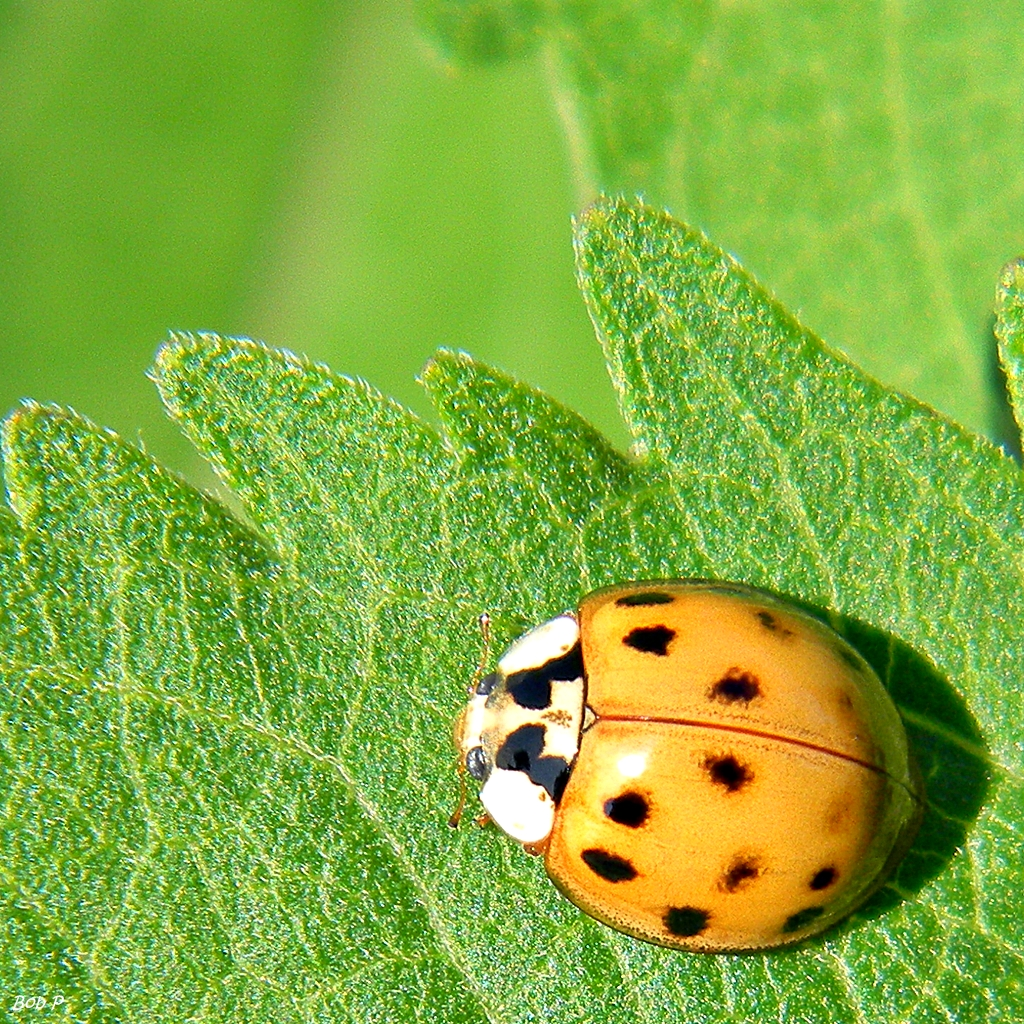 Asian Lady Beetles – A Quick and Informative Guide