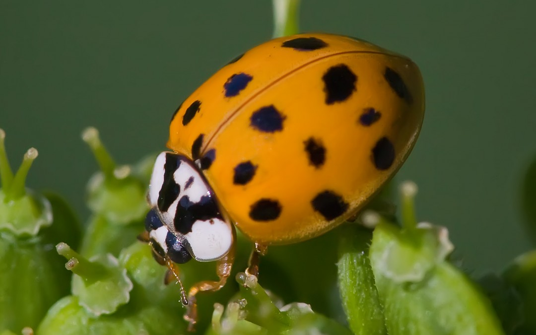Fall Pest Guide: Asian LadyBugs (Part 6)