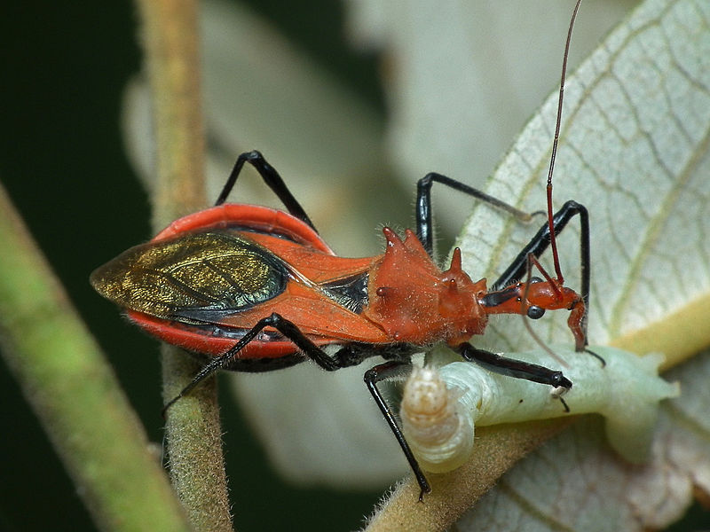 Assassin Bug Continues to Strike Indiana