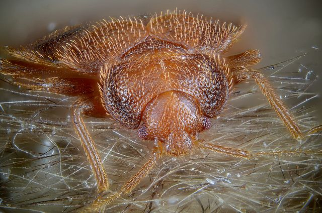 Bedbug Facts, Prevention, and Treatment