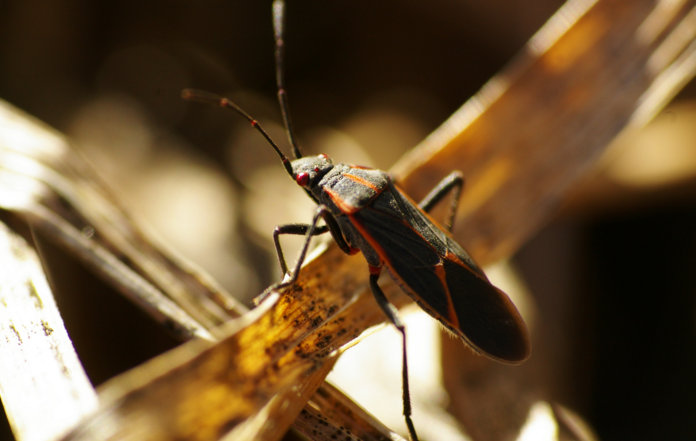 Fall Pest Guide: Box Elder Beetles (Part 5)