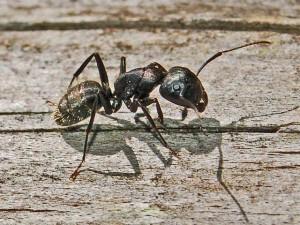 carpenter ant information