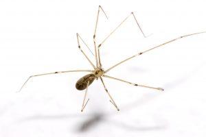 cellar spider