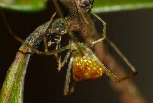 Comb-Footed Spider Thwaitesia sp.