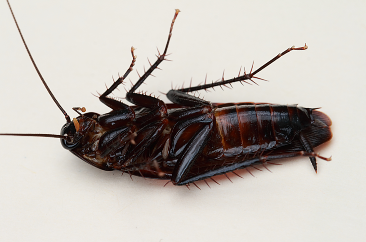 Cold Weather Pushes Cockroaches Indoors: Simple Steps to Preventing a Winter Infestation