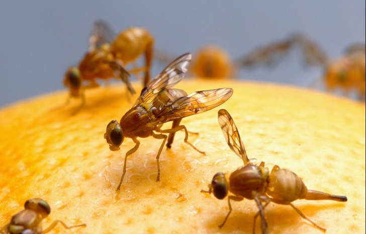 Fruit Flies – A Comprehensive Guide