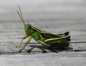 garden-pests-grasshoppers