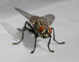 house fly in your home
