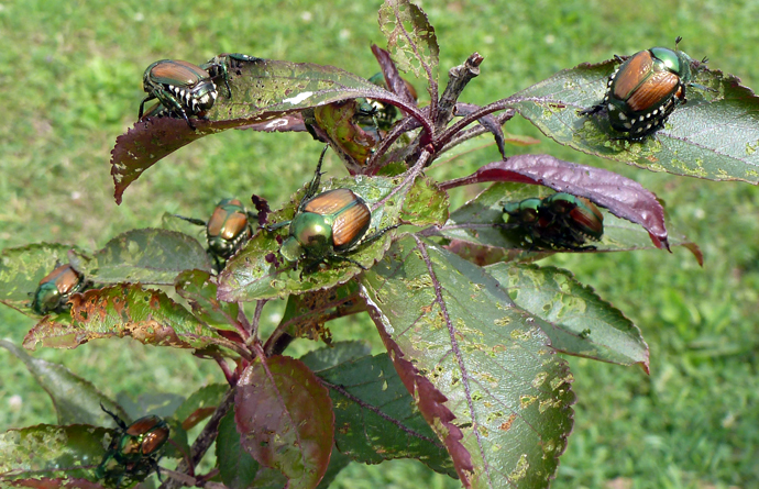Japanese Beetles destroying a plant