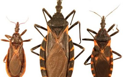 """The Deadly """"Kissing Bug"""" Reported Throughout Indiana"""