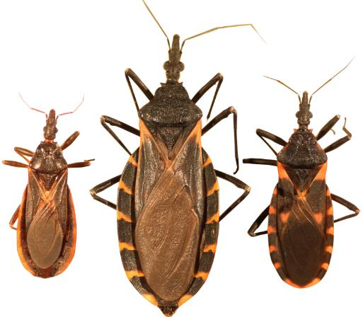 "The Deadly ""Kissing Bug"" Reported Throughout Indiana"