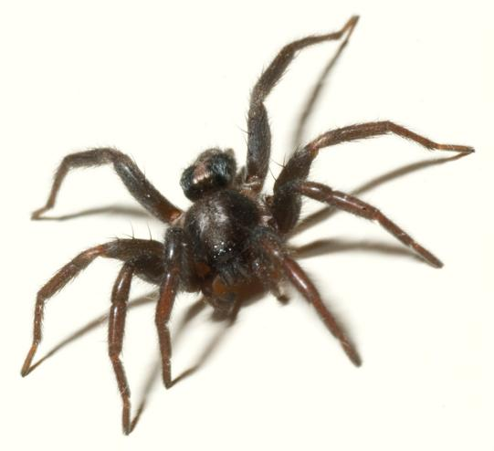 Common Hunting Spiders Found in and Around the Home – Part 2