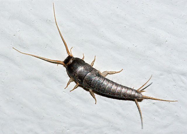 Silverfish identification