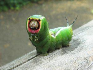 puss moth catepillar