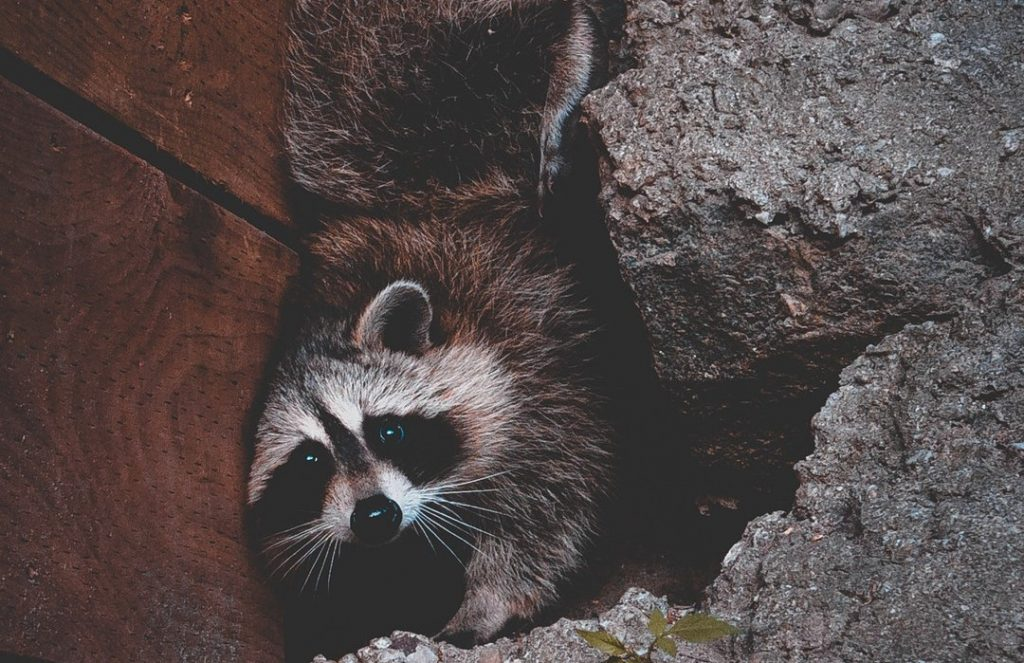 raccoon hiding by house
