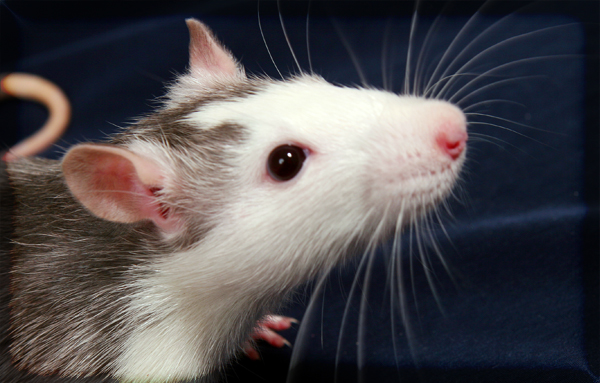 mice and rats exterminator richmond