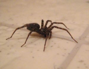 spider in bathroom